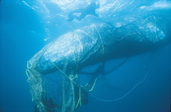 Bycatch-Gray-Whale-In-Net-c-BobTalbot-via-Monofilament-Recovery-Recycling-Program-700x462