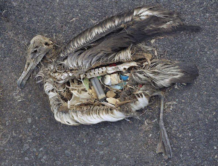 The-Plastic-Impact-on-Birds-1-Albatross